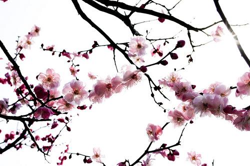 Le r ve veill un r ve veill - Cerisier en fleur dessin ...